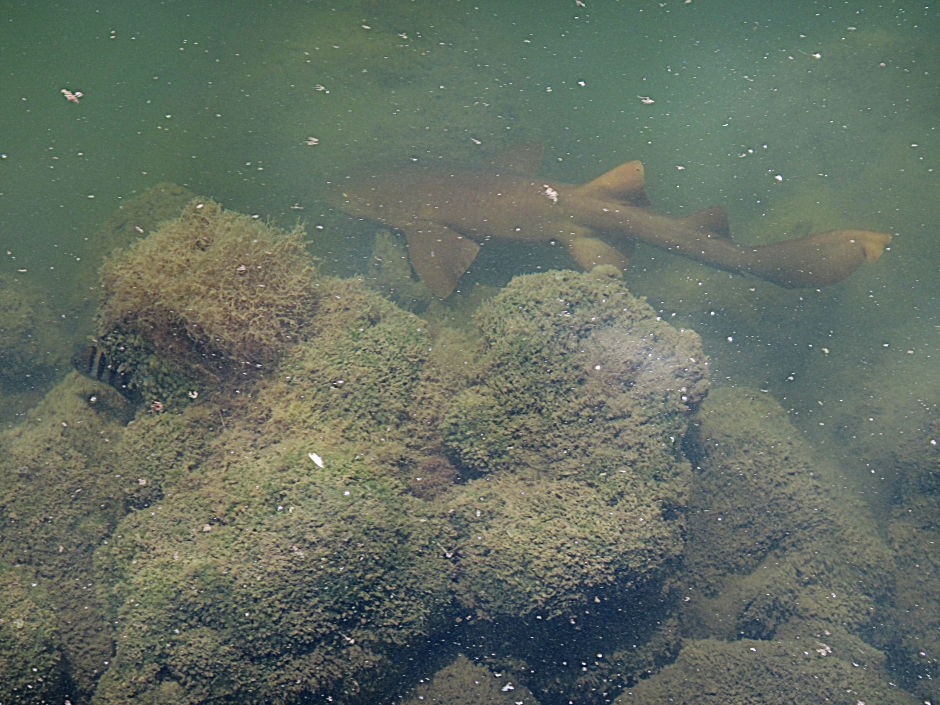 Young Nurse Shark