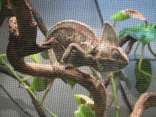 Robby the Chameleon