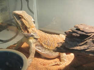 Abe the Bearded Dragon