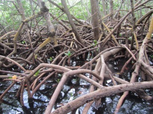 These are the roots of the mangroves