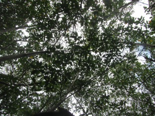 Looking up at the canopy of mangrove trees