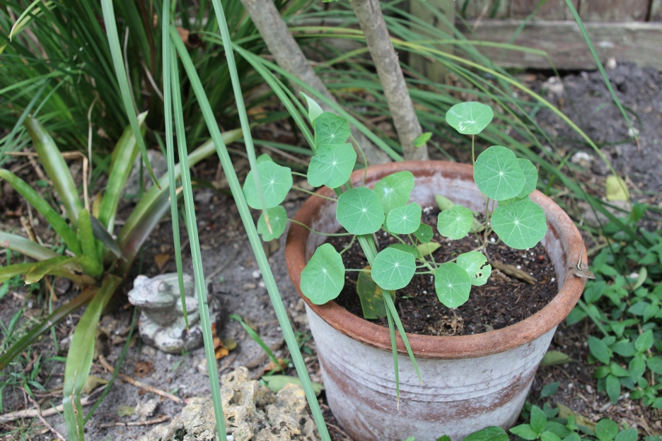 pot of growing nasturtiums in our yard