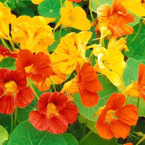 blooming flowers on the vines from http://www.lookfordiagnosis.com/mesh_info.php?term=Nasturtium&lang=1