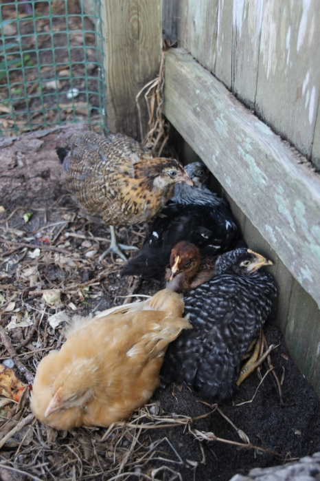 Dust Bathing in their coop compost area