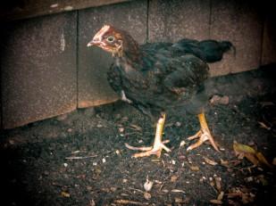 Little Peep, aka Zombie Chicken