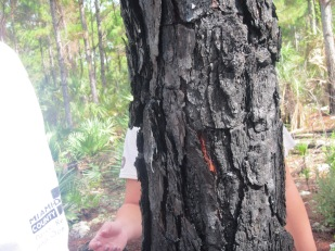 The inside of the tree trunk after the fire