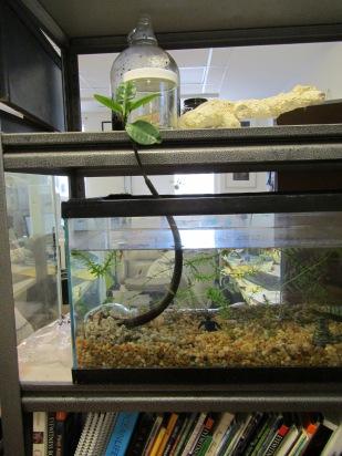 mangrove growing in fish tank
