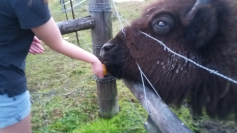 Feeding buffalo