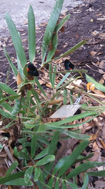 check out the butterflies hatching