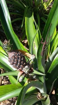 pineapply
