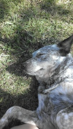 The beautiful Snap, the Australian Cattle Dog