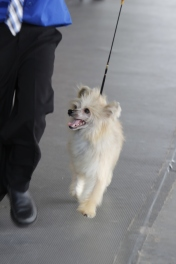 A powder puff chinese crested