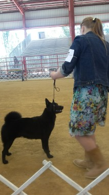q in breed ring at davie