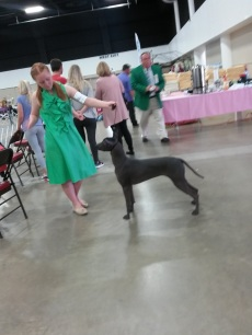 west palm beach getting ready for the breed ring