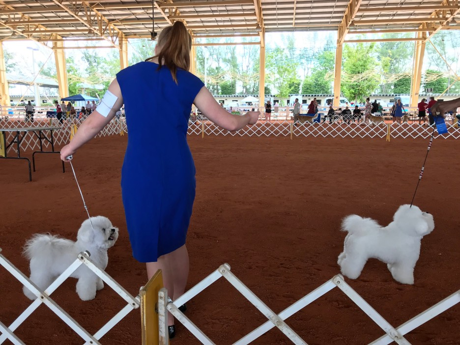 showing the bichon frise in miami